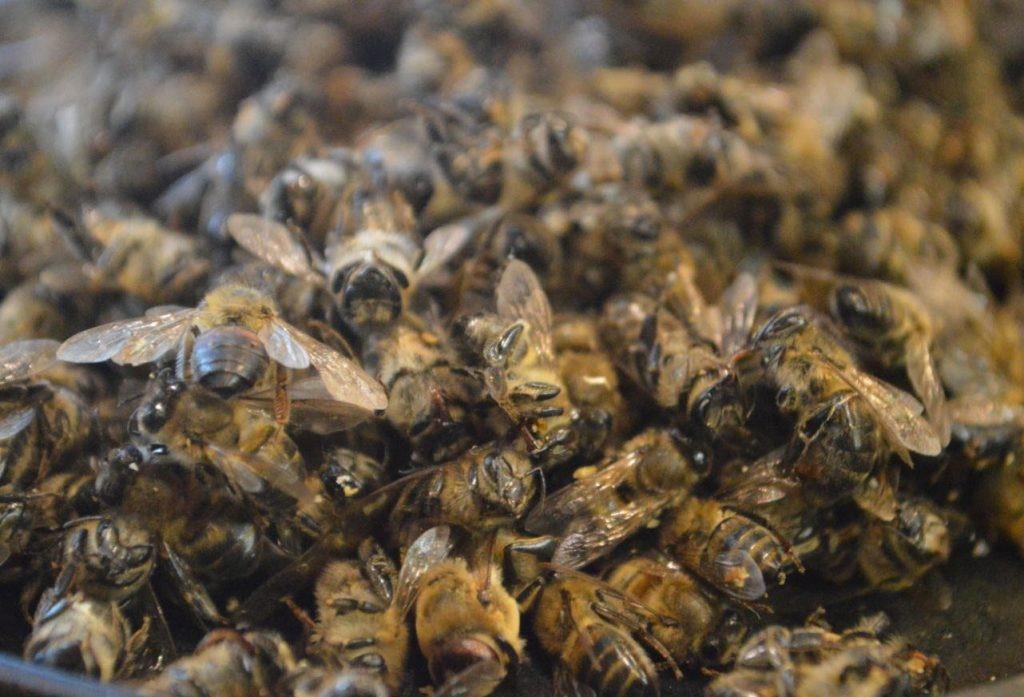 Применение пчелиного подмора при артрозе