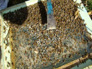 Подмор пчелиный: настойка на спирту и водке, применение