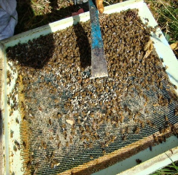 Подмор пчелиный: настойка на спирту, водке