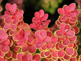 Описание барбариса Оранж Санрайз (Berberis thunbergii Orange Sunrise)