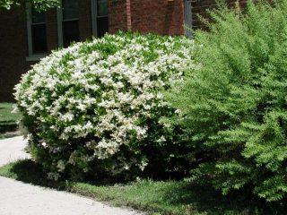 Декоративные деревья и кустарники: бирючина круглолистная
