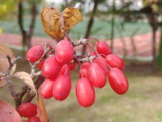 Применение ягод лимонника
