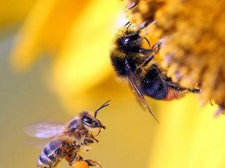 Чем отличаются шмель и пчела, фото