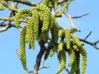 Как цветет грецкий орех: фото и описание