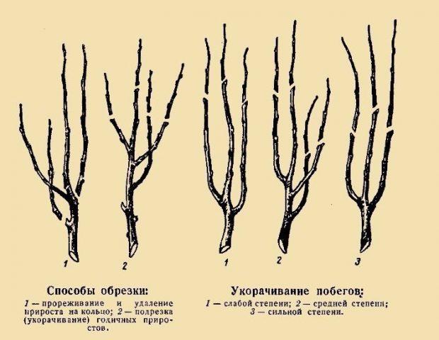 Описание и история селекции колоновидных груш