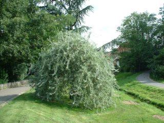 Декоративные деревья и кустарники: груша иволистная