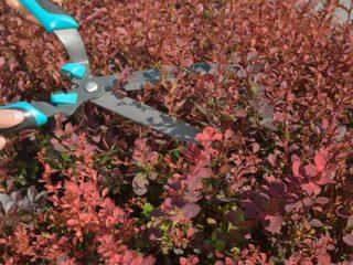 Уход и обрезка барбариса осенью для начинающих