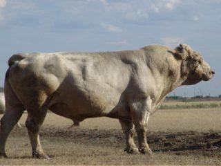 Аулиекольская порода крупного рогатого скота