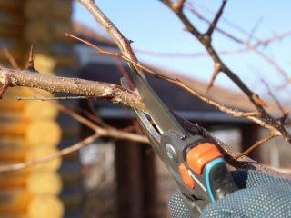 Как правильно обрезать грушу осенью: схема, подготовка к зиме в Сибири, Подмосковье