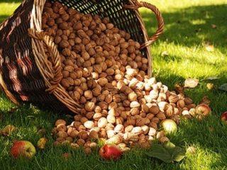 Как вырастить грецкий орех