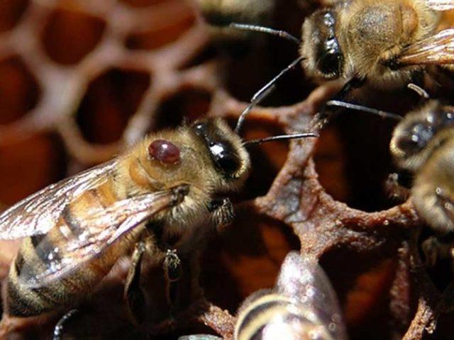 Нозематоз пчел лечение и профилактика