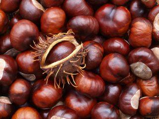 Как посадить каштан из ореха