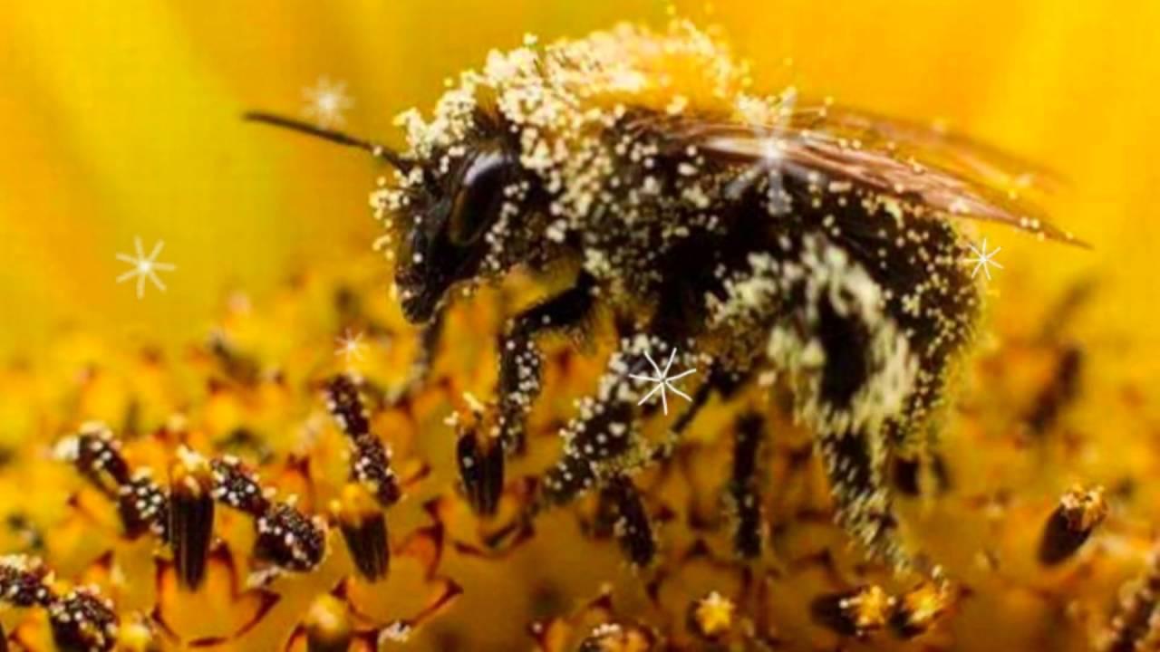 Целебные свойства пчелиной пыльцы  обножки и правила ее применения