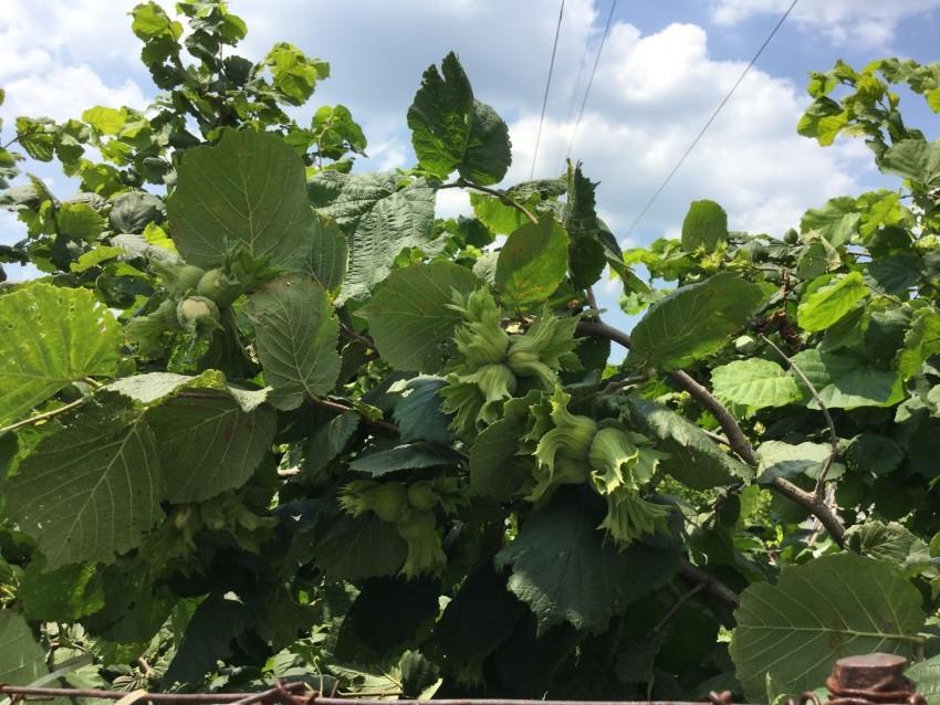 Почему не плодоносит лещина в саду