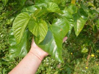 Листья шелковицы: полезные свойства и противопоказания