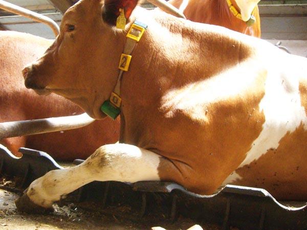 Гнойный артрит коленного сустава у коровы thumbnail
