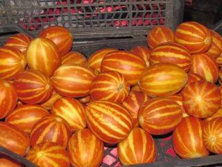 Дыня вьетнамская: отзывы и выращивание