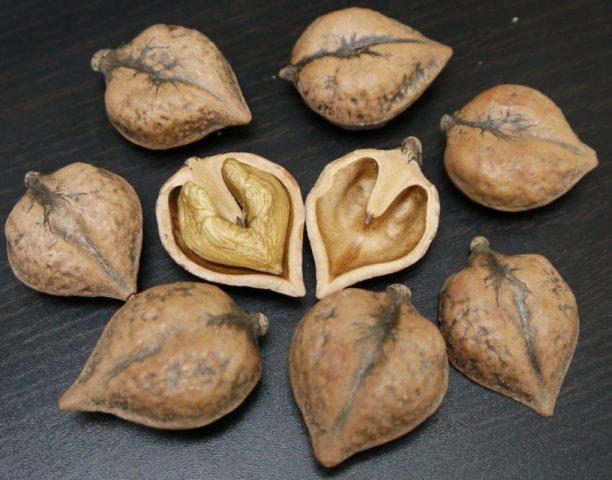 Орех сердцевидный посадка и уход
