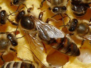 Карпатская пчела: описание породы