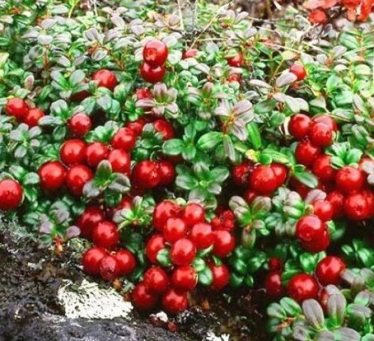 Брусника садовая выращивание на приусадебном участке, в саду, на даче, из семян в домашних