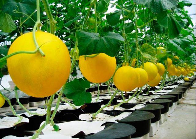 Дыня Медовая описание выращивание, фото