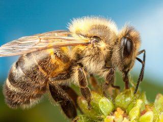 Как выглядит пчела