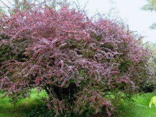 Фото и описание барбариса обыкновенного (Berberis vulgaris)