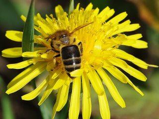 Цветы медоносы для пчел