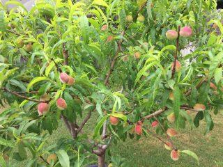 Персиковое дерево: фото, как растет