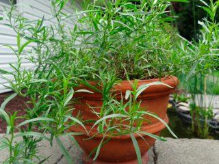 Выращивание эстрагона (тархуна) из семян
