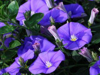 Ипомея пурпурная Звездный вальс (смесь), Райские звезды