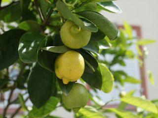 Пересадка лимона: как правильно и когда пересаживать в домашних условиях