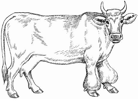 Бурсит у коров и КРС: симптомы и лечение