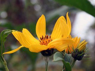Топинамбур: выращивание в открытом грунте