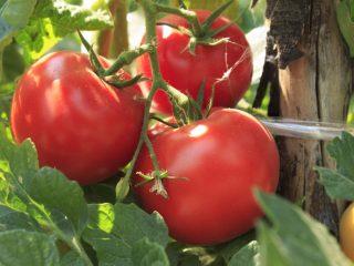 Томат Волгоградский Скороспелый 323: отзывы, фото, урожайность