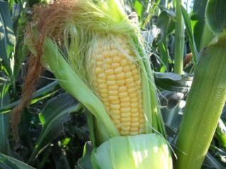 Кукуруза на Урале и в Сибири: выращивание в открытом грунте на даче