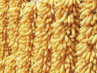 Хранение кукурузы в початках и зерне
