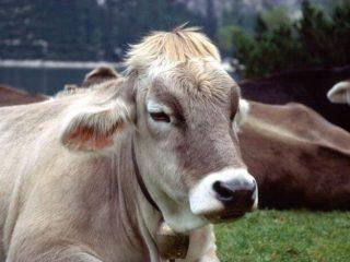 Вздутие живота у теленка