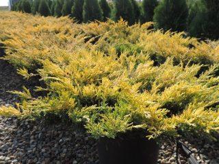 Почему желтеет можжевельник весной, осенью, зимой и летом