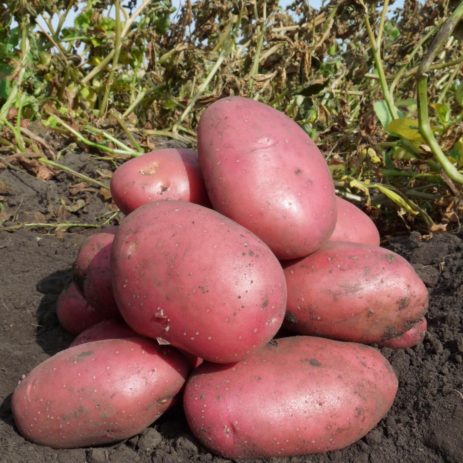 удлинённо-овальные, очень красный картофель сорт фото слой коленях можно