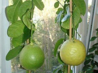 Лимон Пандероза: уход в домашних условиях