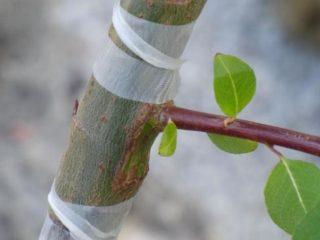 Как привить персик на сливу, на абрикос
