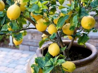Комнатный лимон (лимонное дерево): уход в домашних условиях