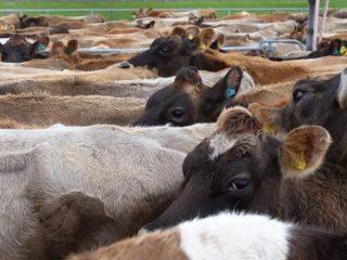 Вирусная диарея телят и коров