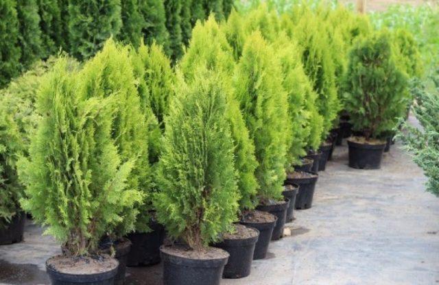 Можно ли выращивать можжевельник в комнатных условиях?