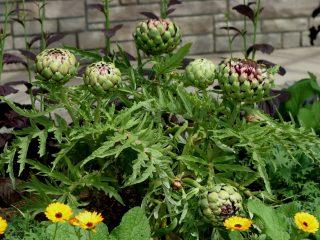 Выращивание артишока из семян