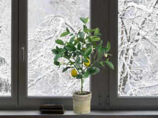 Выращивание лимона (лимонного дерева) из косточки в домашних условиях