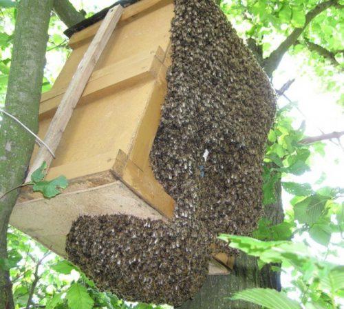 Где ставить ловушки для пчел