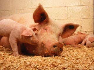 Применение сексинона свиньями