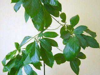 Как посадить авокадо дома в горшке